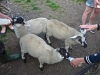 20130710-euros-lyn-w-lambs-via-twitter-jpg
